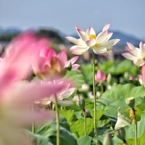 〈風景写真〉朝に咲く蓮の花【藤原宮跡】