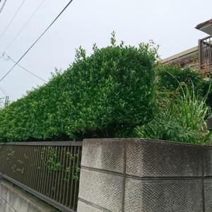 岳父宅の垣根と庭木の剪定
