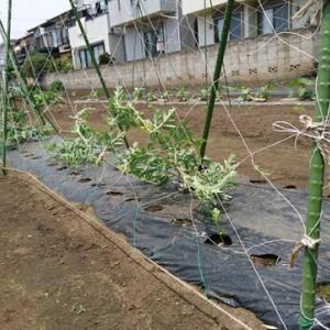畑の草取りと野菜たちの近況