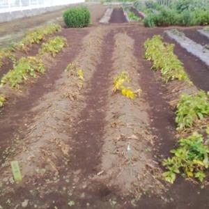 ジャガイモ(とうや)の収穫と里芋の土寄せ