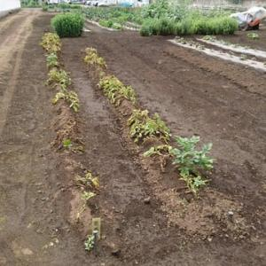 ジャガイモ(男爵)の収穫