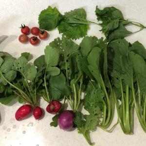 野菜ごみ堆肥で、とまと初収穫!(6月20日②)
