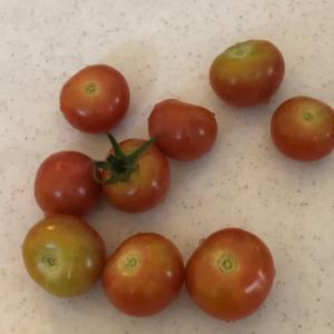 トマトの枝の結束直し、青しその苗植え、三つ葉のリボベジ