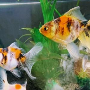 金魚たちの個体差