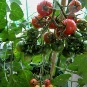 朝取り・トマト