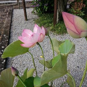 早朝の蓮の花