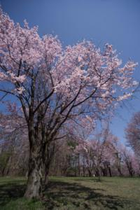 北海道十勝のオヒョウモモ(シベリア桜)咲きました