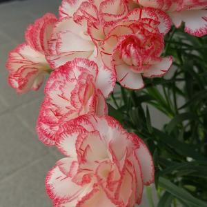 母の日の紀元と花色別の花言葉