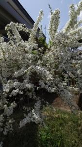 北海道春の庭で咲く草花