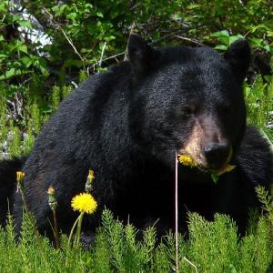 【岩手】クマ、民家の物置に侵入。梅酒を飲んで逃走