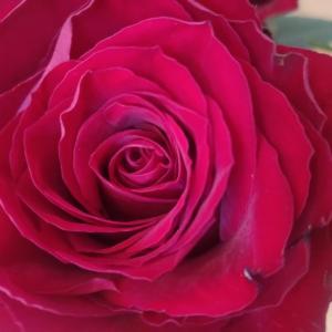昨日の日曜 薔薇のある生活