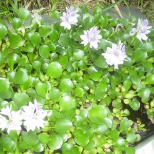 ハスの下で咲く花