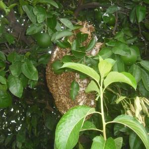 開放自然巣捕獲