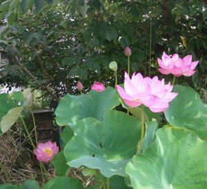 今年も癒される花が咲く