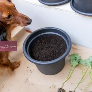 ベランダ菜園始めました 苗の購入&植え替え