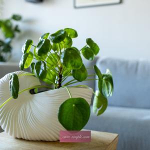 北欧インテリアグリーン♪パンケーキのような観葉植物『ピレア·ぺぺロミオイデス』とFerm Livingのシェルポット
