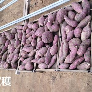 お芋収穫ボランティアさんと収穫作業!その後の振り返り