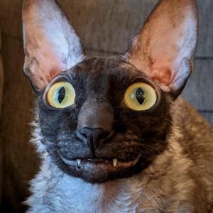 【米国発】「悪魔の猫」と呼ばれて有名に。コーニッシュレックスのピクセル君、天使のような相棒とSNSで活躍中!