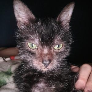 【米国発】病気の子猫と思いきや…狼そっくりの新種ねこ「ライコイ」だと判明したグレイシーちゃん