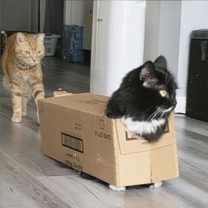 まるでダンボール製のネコバス!空箱をまとって歩くマンチカンにゃんこ、バットマン君