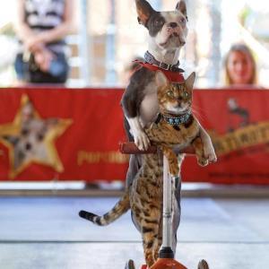【カナダ発】祝・ギネス世界記録!相棒ロリポップちゃんと「犬と猫のペアによるキックボード」で最速記録を樹立!スタントにゃんこ、サシミちゃん