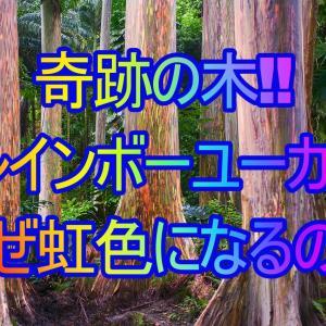 【レインボーユーカリ】フィリピンで発見!なぜ虹色の木になるの?