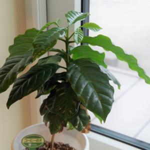 観葉植物 コーヒーの木 成長日記 197日目