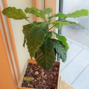 観葉植物 コーヒーの木 成長日記 290日目