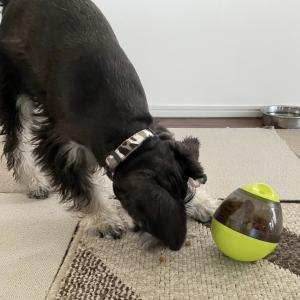 愛犬へのごはんは知育玩具で。シュナウザー子犬のハルも使ってみました。