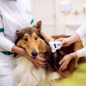 狂犬病ワクチン接種ついでに、マイクロチップも装着して来ました。