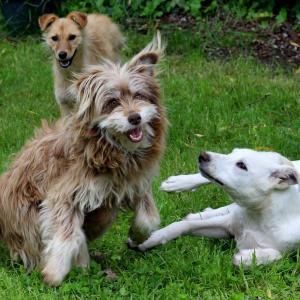 パピーパーティーで社会化!シュナウザー子犬のハルも行ってきました。