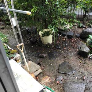 実家の庭のキジバト