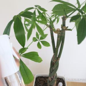 新しい植物とパキラの植え替え