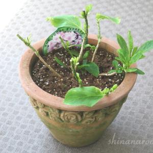 紫陽花を来年こそ咲かせたい