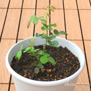 薔薇の新苗を1ヶ月程育ててみた結果