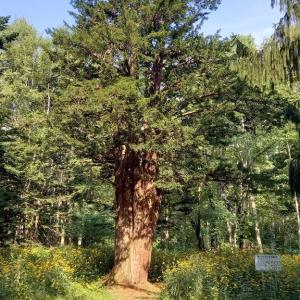 樹齢1300年の大樹