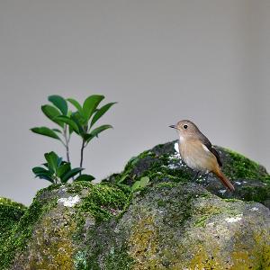 趣味の野鳥観察(尉鶲 - ジョウビタキ)♀ 2