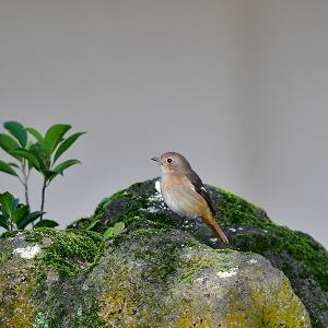 趣味の野鳥観察(尉鶲 - ジョウビタキ)♀ 3