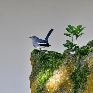 趣味の野鳥観察(四季鳥・シキチョウ)♀ 4
