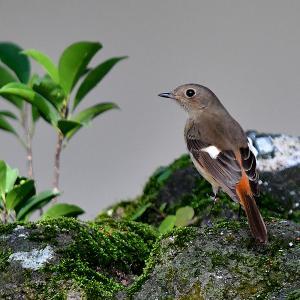 趣味の野鳥観察(尉鶲 - ジョウビタキ)♀ 4