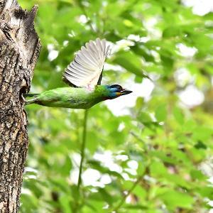 趣味の野鳥観察(五色鳥 - ゴシキドリ)7
