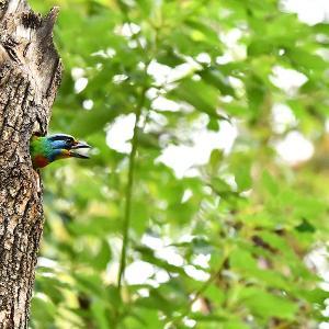 趣味の野鳥観察(五色鳥 - ゴシキドリ)8