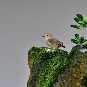 趣味の野鳥観察(尉鶲 - ジョウビタキ)♀ 5