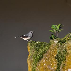 趣味の野鳥観察(四季鳥・シキチョウ)♀ 5