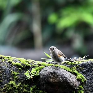 趣味の野鳥観察(瑠璃鶲 - ルリビタキ ♀)4