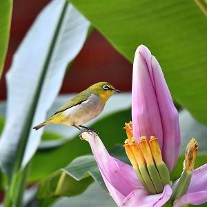 趣味の野鳥観察(ピンクの花にメジロ)1