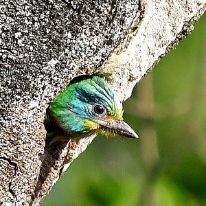趣味の野鳥観察(五色鳥 - ゴシキドリ)9