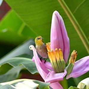 趣味の野鳥観察(ピンクの花にメジロ)2