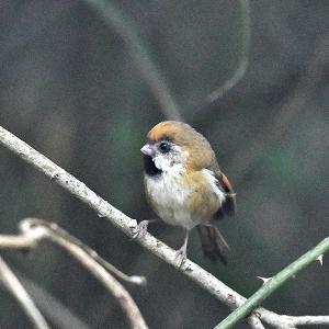趣味の野鳥観察(キバネダルマエナガ)1