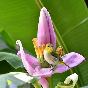 趣味の野鳥観察(ピンクの花にメジロ)3